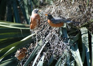 American Robins in JAX 022616 002 (2)