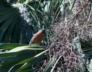 American Robins in JAX 022616 003