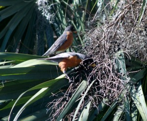 American Robins in JAX 022616 005