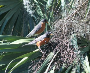 American Robins in JAX 022616 006