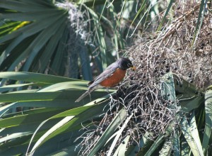 American Robins in JAX 022616 011