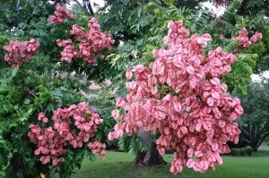 Pink Pods of Rain Tree 102015 017