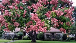 Pink Pods of Rain Tree 102015 024