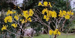 Tabebuia after rains 031416 065